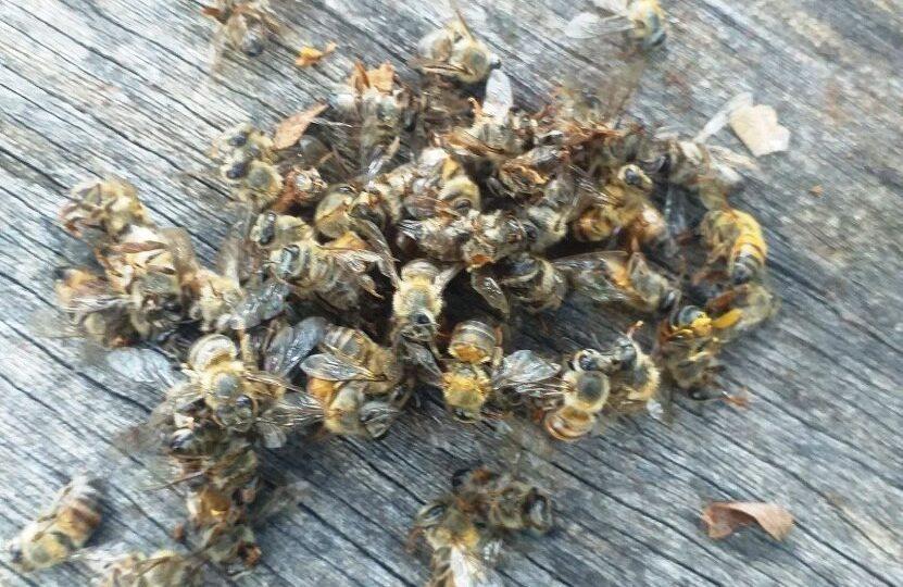 Mueren 200 colmenas de abejas en José María Morelos por presuntos químicos  – Yucatán a la mano